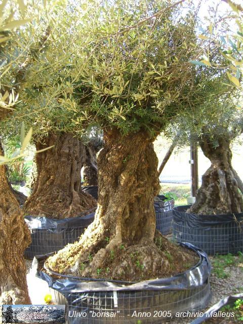 In brianza non crescono pi gli ulivi cesec condivivere for Bonsai di ulivo